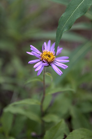 Siberian aster flower blooming in Alaska