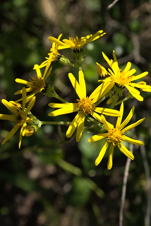 Small blacktip ragwort grows 5-60 cm (2-24 inches) tall with long basal leaves and yellow, ray-like or daisy-like flowers. It grows in a variety of habitats in Alaska.