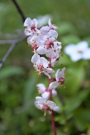 Largeflowered Wintergreen