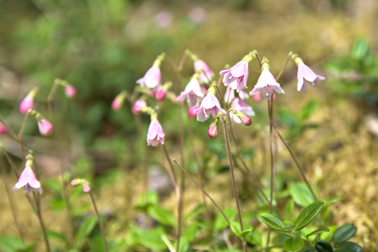 Twinflowers blooming in Denali National Park