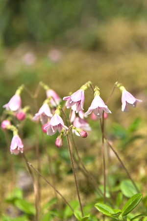 Twinflower in Denali National Park