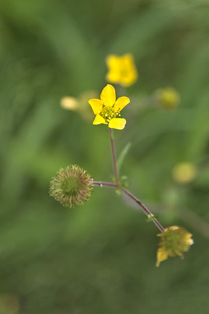 Largeleaf Avens – Geum macrophyllum var. perincisum