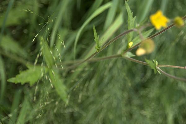 Deply divided leaflet of guem macrophyllum var. perincisum