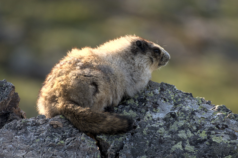 Hoary marmot along the Bison Gulch Trail on Mt. Healy