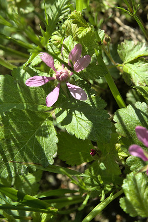 arctic blackberry, also known as arctic rasberry or nagoonberry