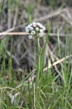 Arctic sweet coltsfoot – Petasites frigidus