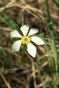 Narcissus-flowered anemone