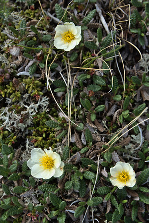 Mountain Avens – Dryas octopetala