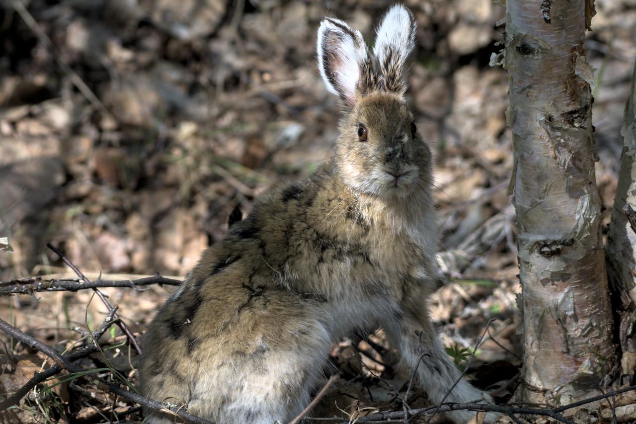 Snowshoe hare at the Wedgewood Wildlife Sanctuary in Fairbanks, Alaska