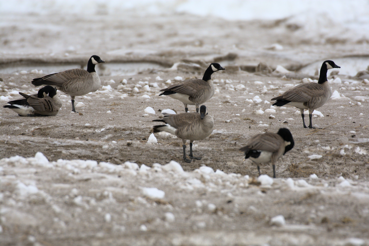 The Canada geese arrive at a still snowy Creamer's Field