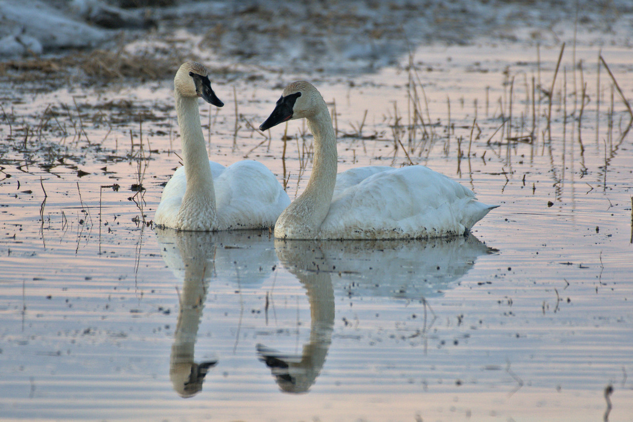 Trumpeter swans in the somewhat flooded field at Creamer's Field