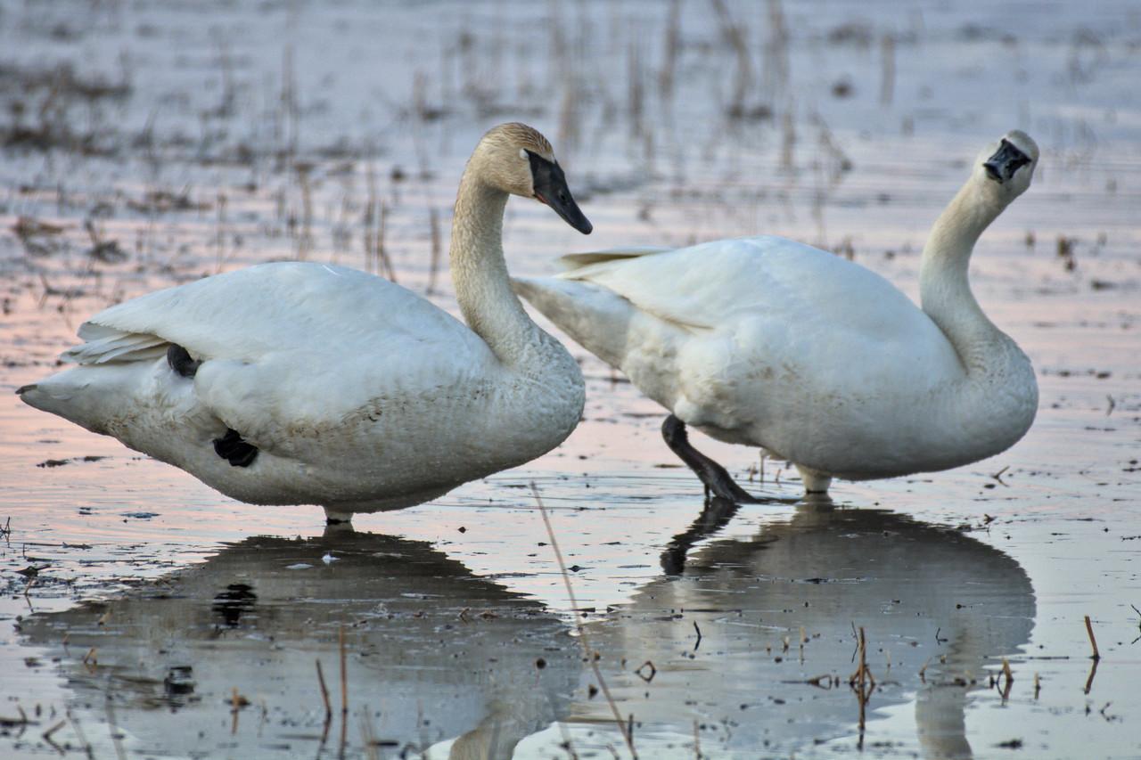 Trumpeter swans at Creamer's Field in Fairbanks, Alaska