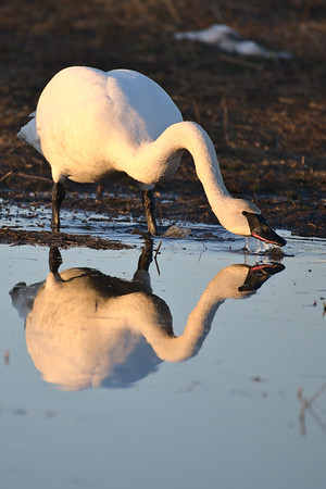 Trumpeter Reflection