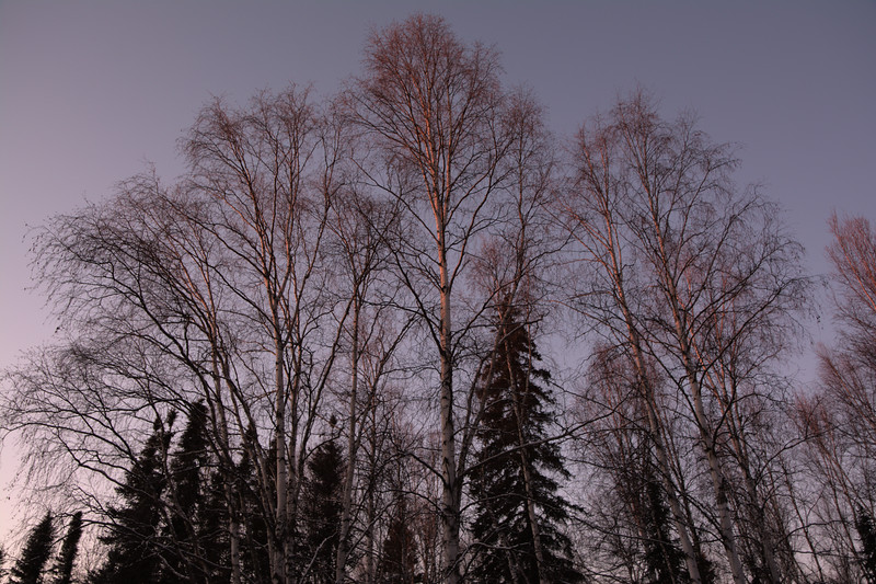 Golden light on birch trees