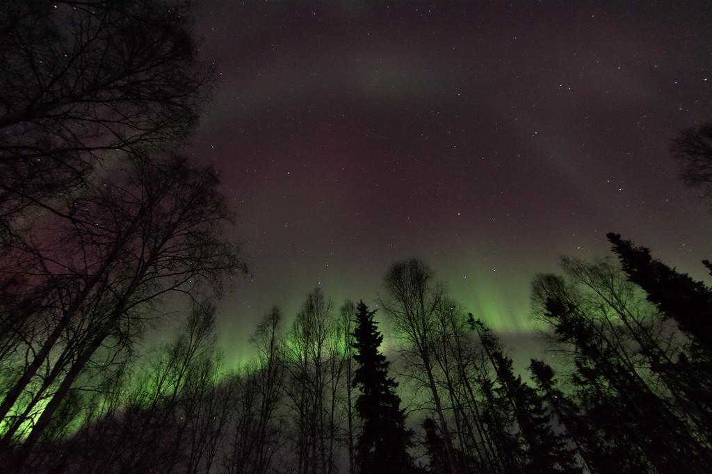 Aurora borealis behind trees