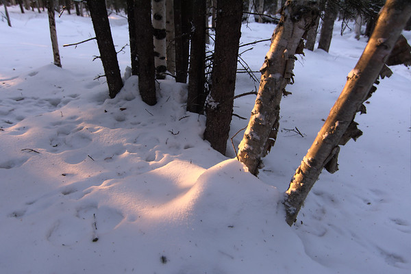 Birch, Snow, and Light