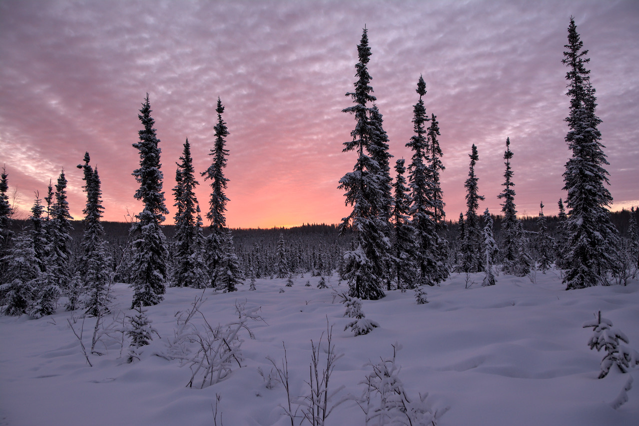 The sun nears the horizon at almost 9:30 am, making for some wonderful colors over a boreal spruce forest in Fairbanks, Alaska.