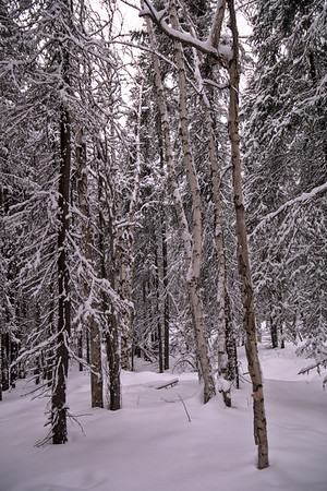 Birch and Spruce in Snow