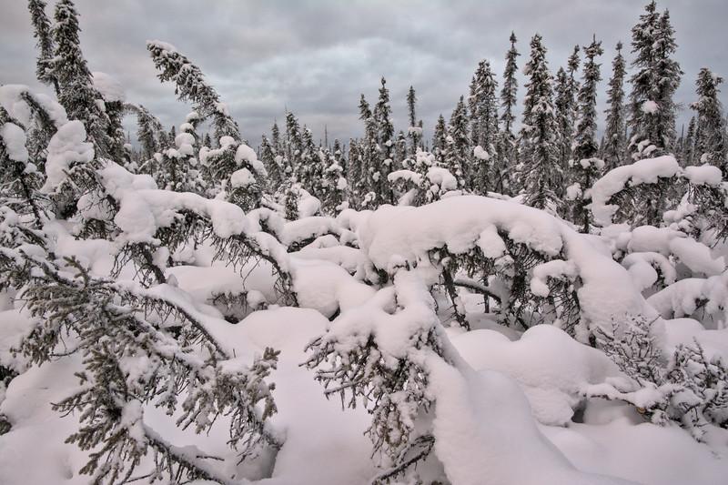 Snowy forest in Fairbanks, Alaska