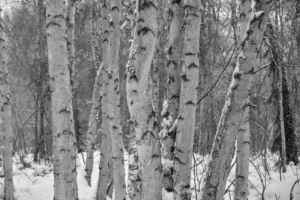 Bent Birch