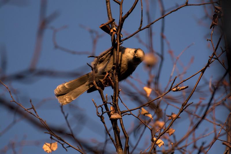 Gray Jay in a tree