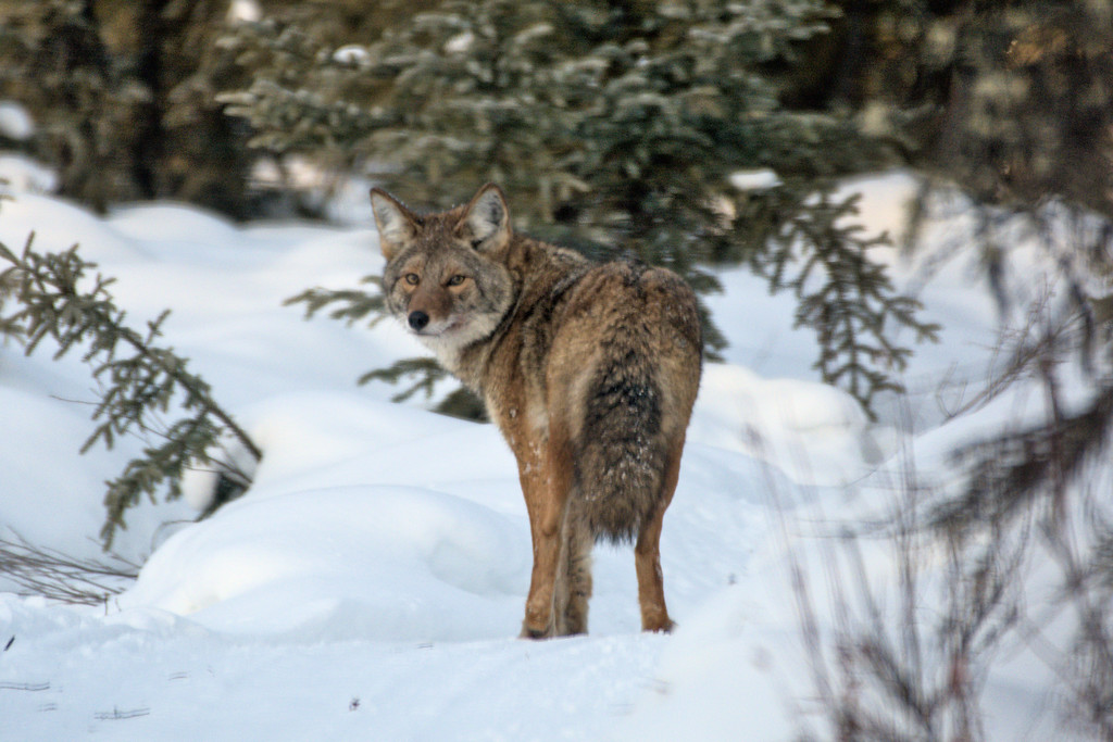 Coyote on a snowy trail