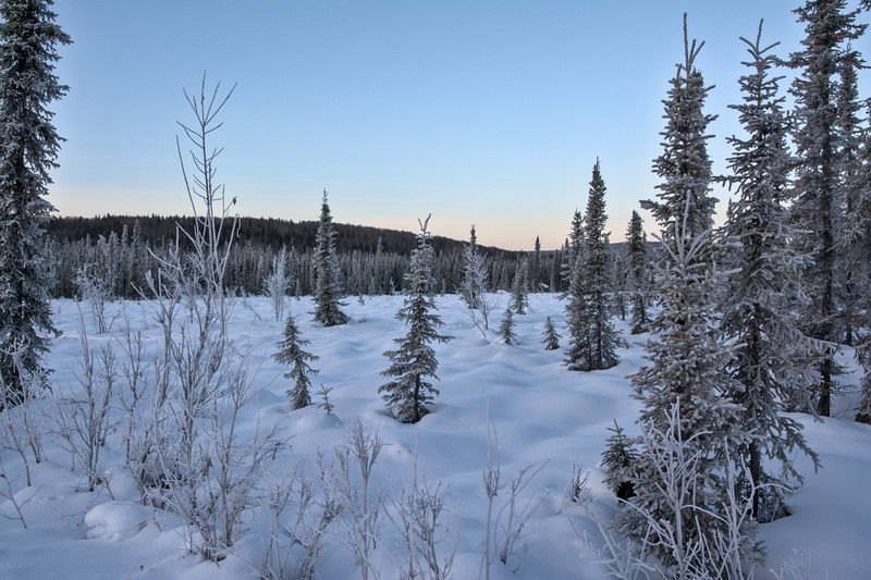 Frosty spruce trees in a snowy meadow