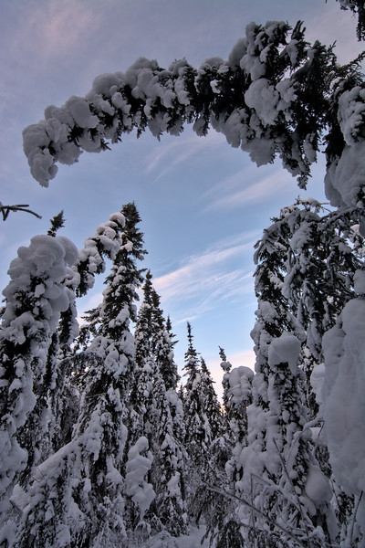 A snowy tree bending over a trail