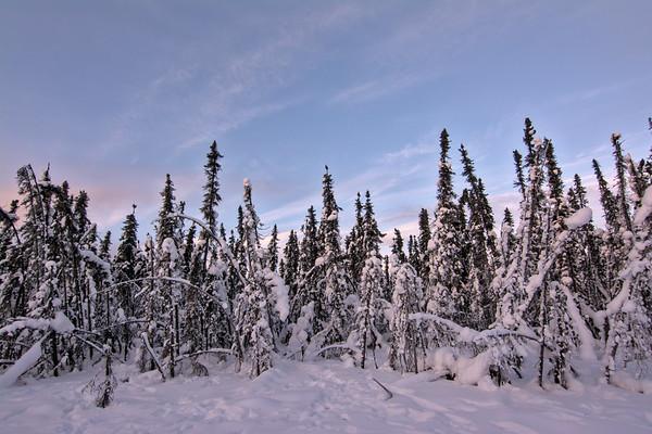 Ragged Spruce