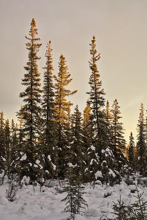 Warm Light Spruce