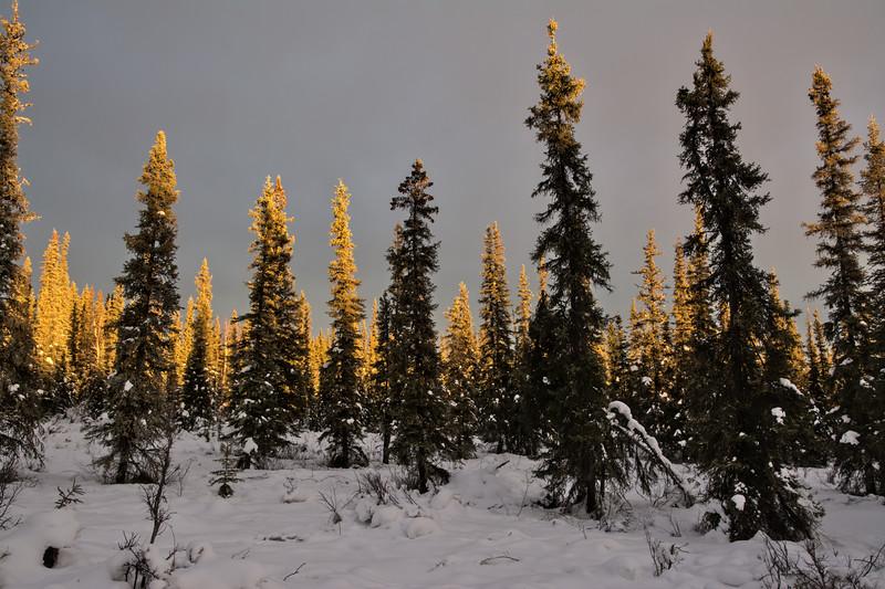 Golden light on spruce trees