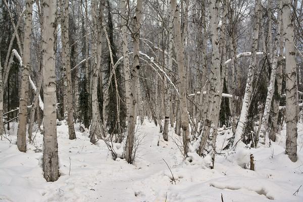 Birch Trails