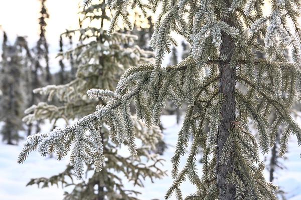 Frosty Spruce Needles