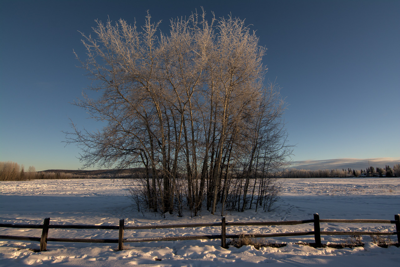 aspen trees in the snow at Creamer's Field in Fairbanks, Alaska