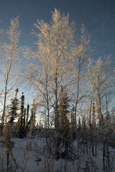 Frosty trees in the light