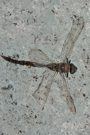 Dragonfly in the ice