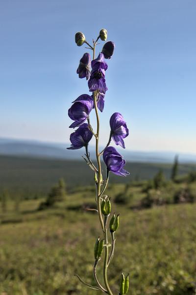 monkshood flowers in Alaska