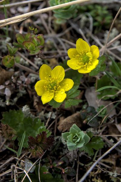 yellow thimbleweed or yellow anemone flowers