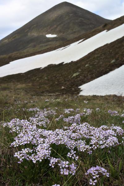 nakedstem wallflowers under a mountain
