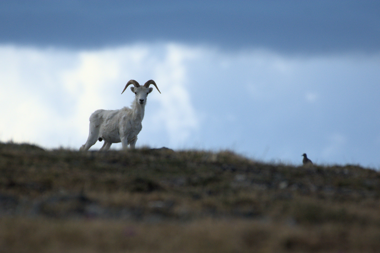 Dall ram on Mt. Margaret in Denali National Park. It headbutted the bird a few seconds later.