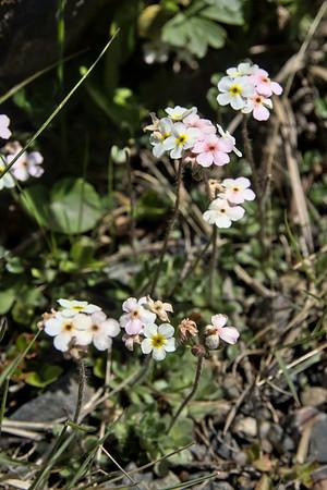 sweetflower rockjasmine flowers in Denali National Park