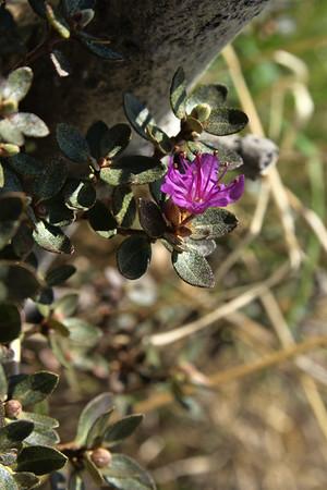 Lapland Rosebay – Rhododendron lapponicum