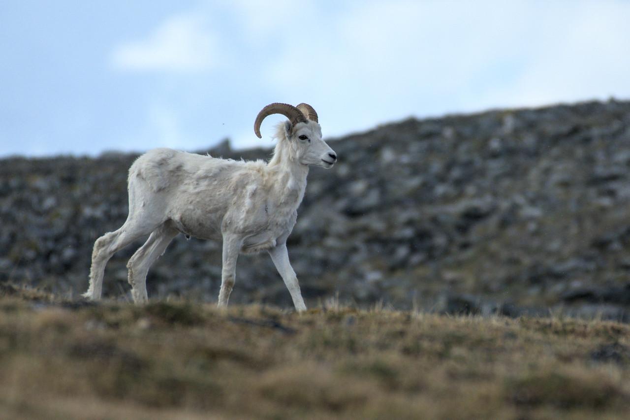 Dall ram crossing my path to graze in the alpine tundra