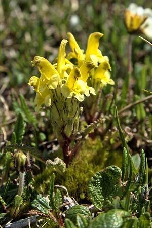Oeder's Lousewort – Pedicularis oederi