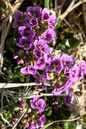 Purple bittercress – Cardamine purpurea