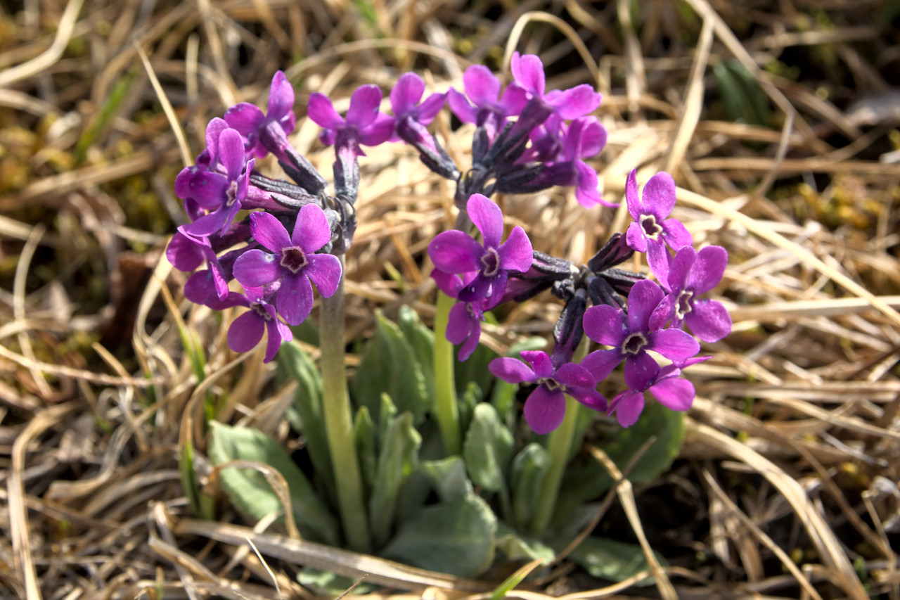 Chucki primrose flowers (Primula tschuktschorum) near the summit of Mt. Margaret