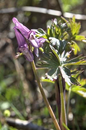 Fewflower fumewort – Corydalis pauciflora