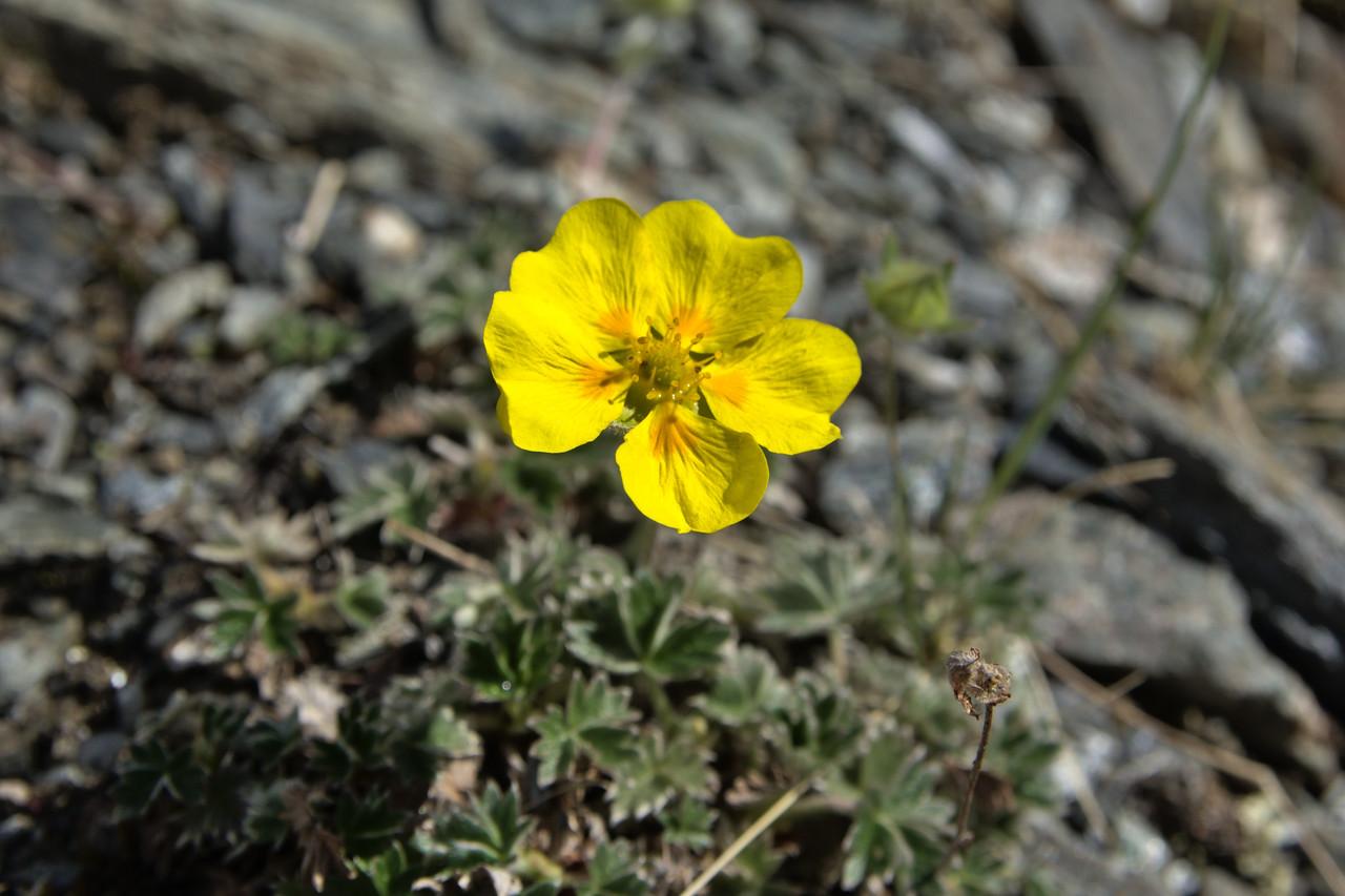 Snow cinquefoil flowers