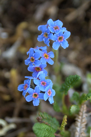Alpine forget-me-not – Myosotis asiatica