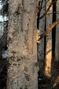 Sunset Colors on Birch